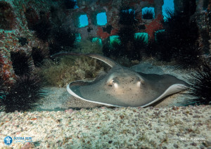 Artificial Reef - Stingray